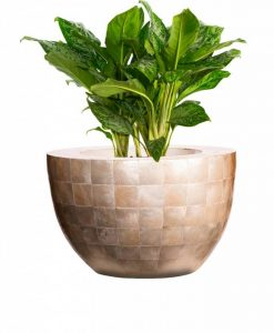 bowl-capiz-shell-aglaonema