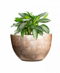 bowl-capiz-shell-aglaonema-silver-bay