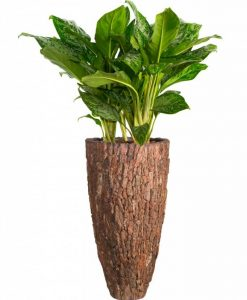 vase-pine-bark-aglaonema-green