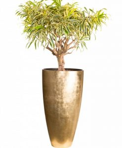 vase-senza-champagne-dracaena-song-of-india